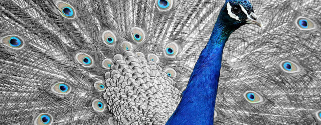 peacock-1676635_1280-1800